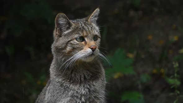 Cover Image for European wildcat portrait close up