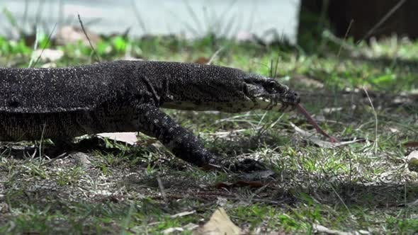 Thumbnail for Close up From a Monitor Lizard