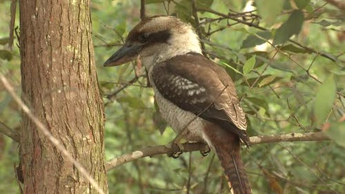 Laughing Kookaburra Adult Lone Perched Looking Around in New South Wales