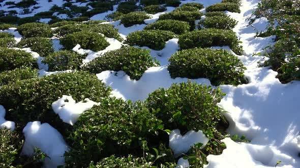 Snow Particles on Green Tea Plantation