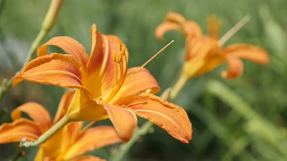 Thumbnail for Elegant orange flower bud of Hemerocallis fulva tiger natural garden background 4K 2160p 30fps Ultra