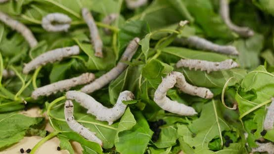 Cover Image for Silkworms on green leaf and eating