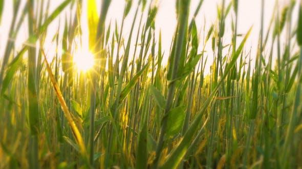 Thumbnail for Young Wheat Close-Up at Dawn