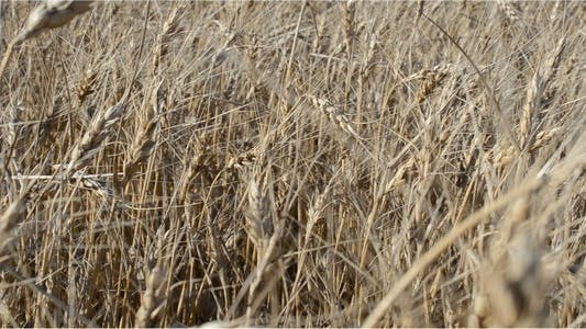Thumbnail for Wheat 6