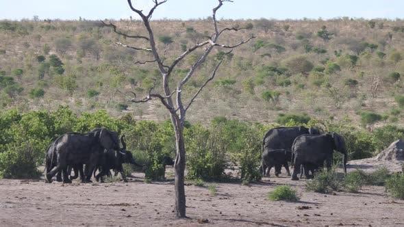 Thumbnail for Herd of African Bush elephants walking