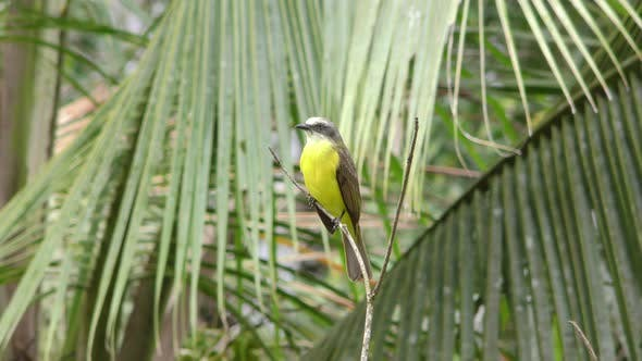 Grey-capped Flycatcher Bird Perched Looking Around in Costa Rica Central America