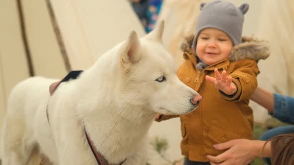 Slow Motion of a Small Curious Child Playing with a White Husky Dog.