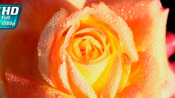 Thumbnail for Orange Rose in Dewdrops