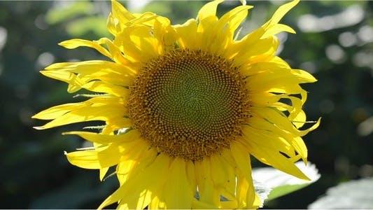 Thumbnail for Sunflower 10