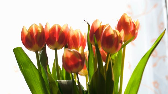 Thumbnail for Woman Setting Beautiful Red And Yellow Tulips