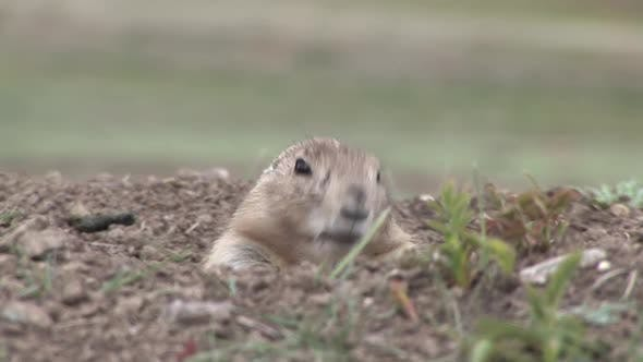 Thumbnail for Black-tailed Prairie Dog Adult Lone Grooming Cleaning in Spring