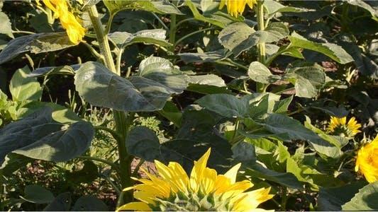 Thumbnail for Sunflower 14
