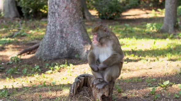 Thumbnail for Funny Monkey Sitting on a Stump