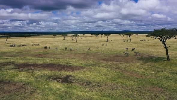 Safari in African Zebras