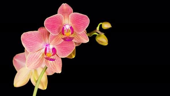 Blooming Red Orchid Phalaenopsis Flower