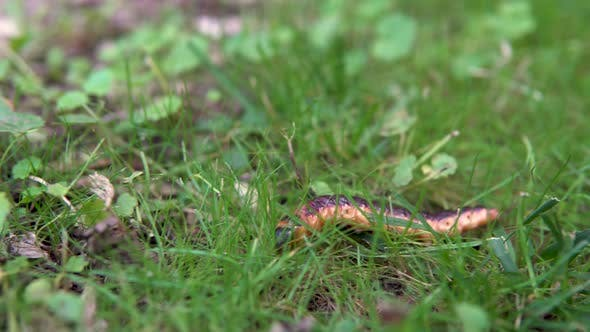 Thumbnail for A Large Caterpillar Crawls on the Grass
