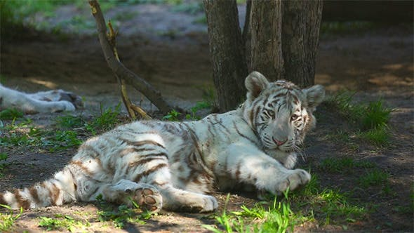 Cover Image for Tiger Cubs