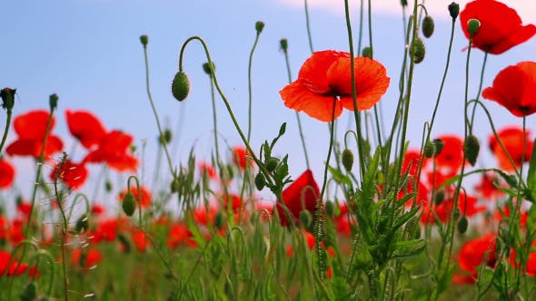 Thumbnail for Red Poppies and Other Steppe Vegetation