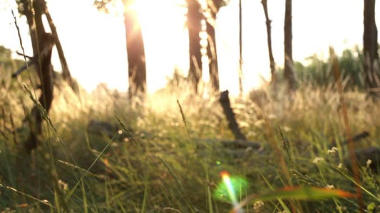 Thumbnail for Forest At Sunset