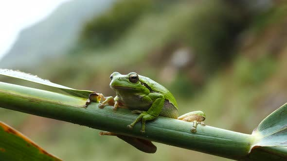 Cover Image for The green tree frog sitting on a branch