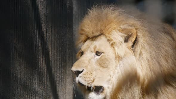 Thumbnail for Portrait Of An African Lion In A Cage