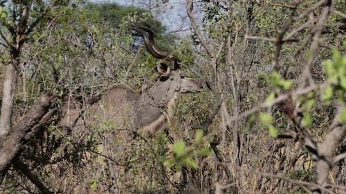 Kudu on african bush
