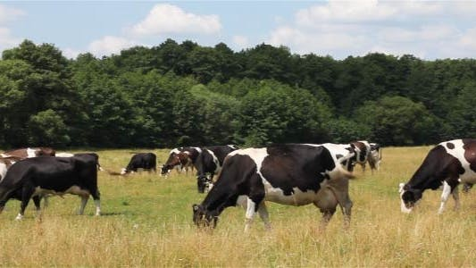 Thumbnail for Cows On Pasture 2