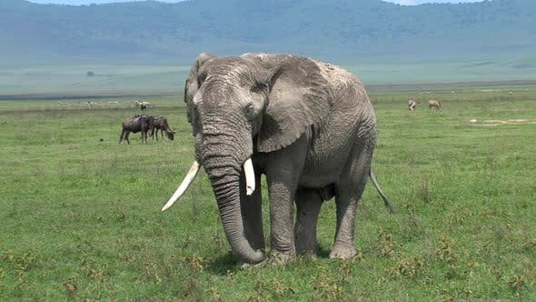 Thumbnail for Old African Elephant grazing on the grassland