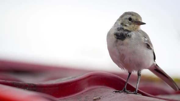 Thumbnail for White Wagtail -Motacilla Alba- on a Roof