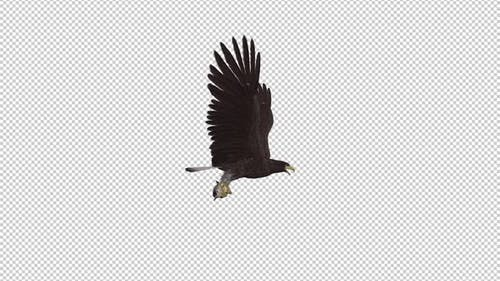 Eurasian White Tail Eagle With Fish - Flying Loop - Side View