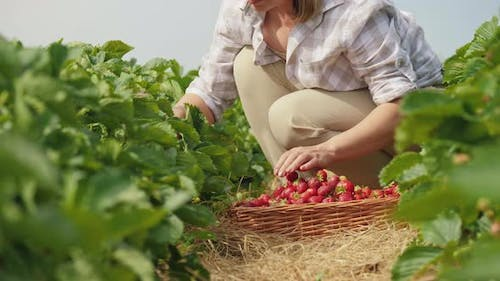 Woman Harvests Ripe Strawberries at Agricultural Plantation
