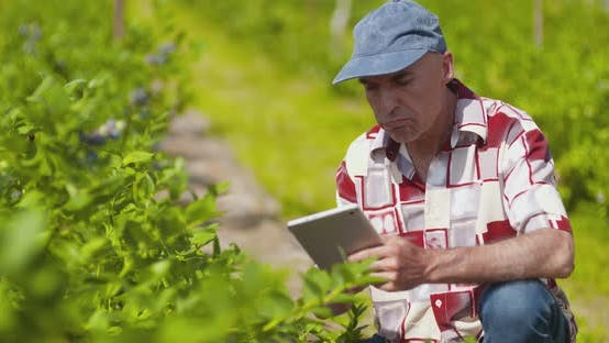Thumbnail for Confident Male Farm Researcher Examining and Tasting Blueberry on Field