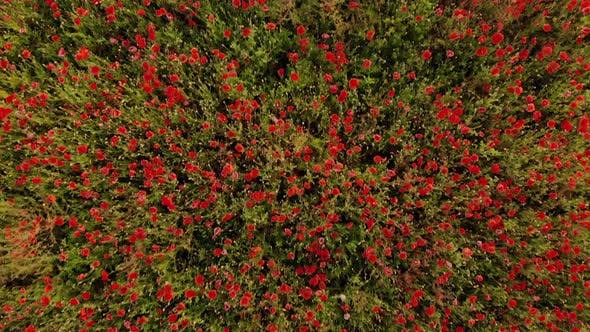 Drone Footage of Flight Over Red Field of Poppies