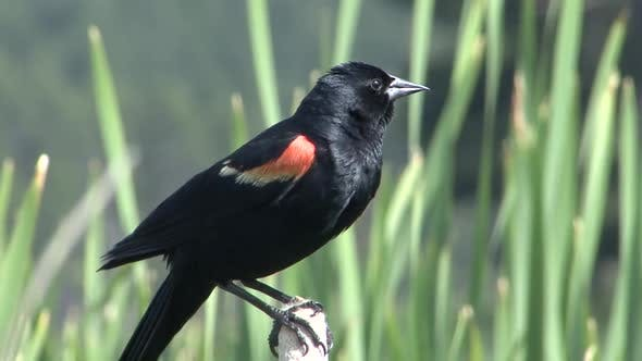 Red-winged Blackbird Male Adult Lone Perched in Summer in South Dakota