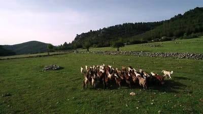 Farm Animals On Pasture