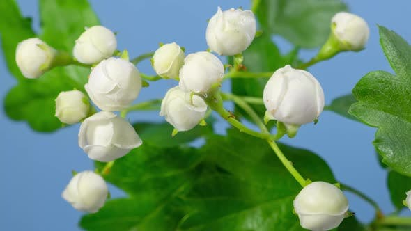 Thumbnail for Hawthorn Blossom Macro Timelapse on Blue