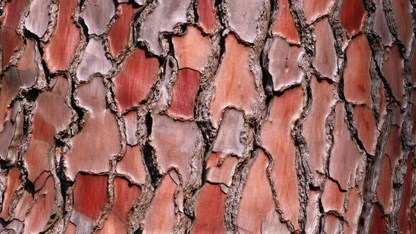 Thumbnail for Texture of Pine Tree Bark on Trunk in the Forest. Pinus Pinaster. Seaside Pine Bark.