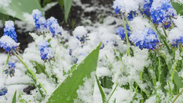Thumbnail for Blue Muscari Flowers Under the Snow