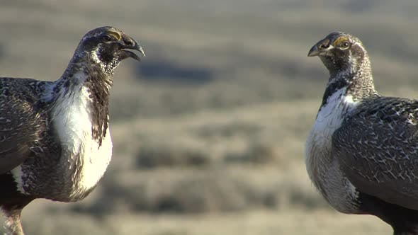 Thumbnail for Sage Grouse Cock Male Adult Pair Aggressive in Spring Threatening Territory