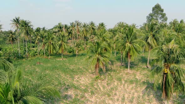 Camera Zooms in Huge Beautiful Palm Tree Forest with Leaves