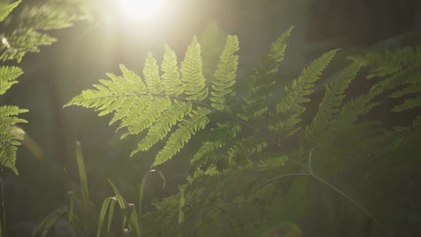 Fern Leaves in the Evening Sun