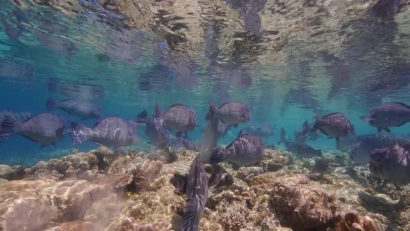 Thumbnail for School of Green Humphead Parrotfish (Bolbometopon Muricatum) Beside Coral Reef Wall at Sipadan