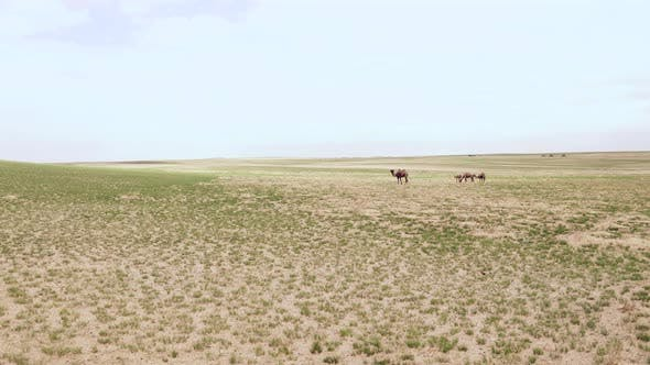 Thumbnail for Wild Camels Free-Roaming Freely in Barren Steppes of Central Asia
