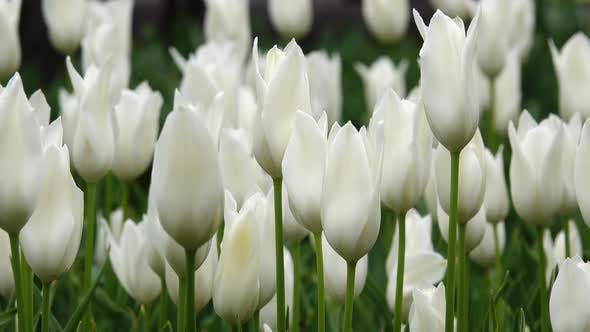 Thumbnail for Blooming White Tulips Flowerbed in Flower Garden. Close Up