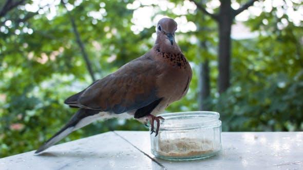 Dove Eating At Balcony