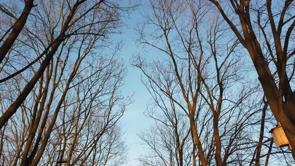 Thumbnail for View of a Leafless Tree Against a Blue Sky. Bare Old Trees in the Fall.