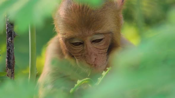 Thumbnail for Rhesus Macaque Macaca Mulatta Is One of the Best-known Species of Old World Monkeys