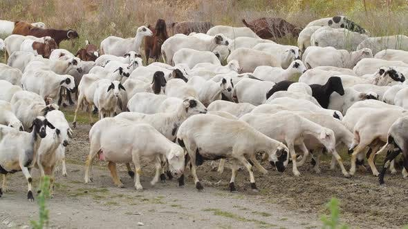 Goats Walk in Village Breeding of Domestic Animals