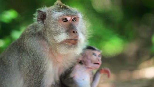 Monkey Family Cleaning Louse4