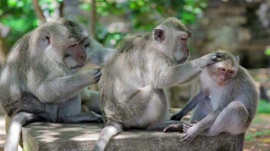 Monkey Family Cleaning Louse1